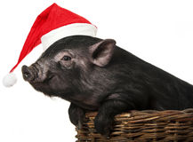 Black pig with a red santa cap Stock Image