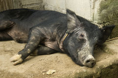 Black Pig Resting Royalty Free Stock Photography