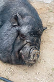 Black pig Stock Photo