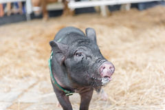 Black pig with spit walking toward to camera royalty free stock photo