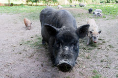 Black pig swine and two piglets front looking Royalty Free Stock Photo
