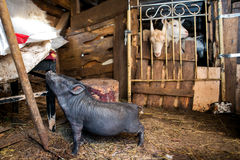 Black pig and three goats Stock Image