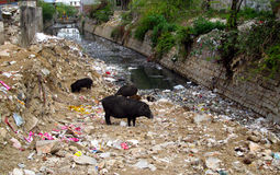 Black pig in trashcan in India Royalty Free Stock Photo