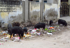 Black pig in trashcan in India Stock Photos