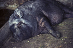 A black pig of a Vietnamese dwarf breed sweetly asleep in a stab stock images