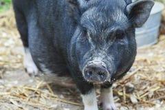Black pig walking around the farm.  Royalty Free Stock Photo