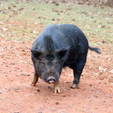 Black pig Royalty Free Stock Photography