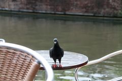 Pigeon on café table. Black pigeon on café table Royalty Free Stock Photography