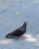 Black pigeon Stock Images