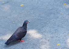 Black pigeon Royalty Free Stock Photography