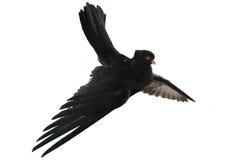 Black pigeon Royalty Free Stock Photo
