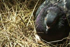 Black pigeon hatching eggs Royalty Free Stock Photos
