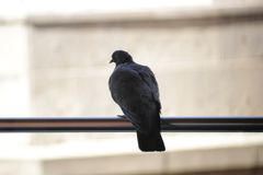 Black pigeon sitting on a steel railing. stock images