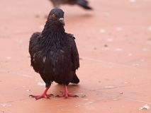Black Pigeon of Thailand Stock Images