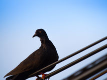 Black Pigeon on a Wire Royalty Free Stock Photo
