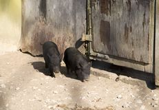 Black Piggies Stock Photography