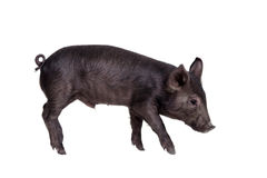 Black piggy isolated on white Royalty Free Stock Photos