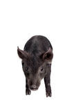 Black piggy isolated on white Royalty Free Stock Photography
