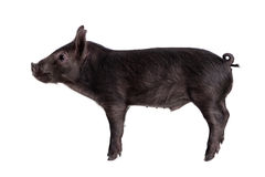 Black piggy isolated on white Stock Photo