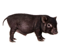 Black piggy isolated on white Stock Image