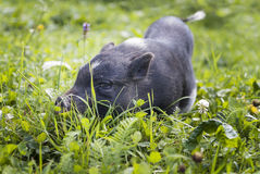 Black piggy Royalty Free Stock Photos