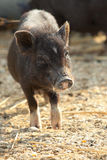 Black Piglet Royalty Free Stock Photography