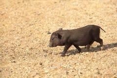Black Piglet Stock Image