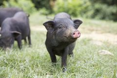 Black piglet Stock Photo