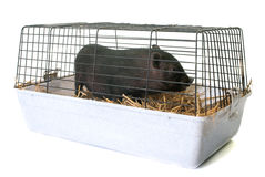 Black piglet in cage stock photos