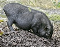 Black piglet 1 Royalty Free Stock Photos