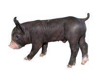 Black piglet,kurobuta. Pic of Black piglet,kurobuta Royalty Free Stock Photos