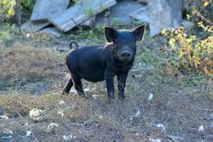 Black piglet standing on hill. Domestic farm animal. In village. Young pig at farm stock photo