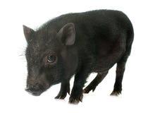 Black piglet in studio Stock Photo