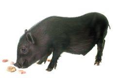 Black piglet in studio Royalty Free Stock Photo