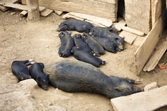 Black piglets sleeping Royalty Free Stock Photography