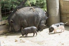 Black piglets Stock Photos