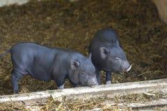 Black piglets Stock Images
