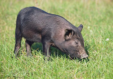 The black pigling on green lawn Royalty Free Stock Image