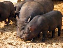 Black pigs Stock Image