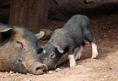 Black pigs. A puppy pig and his mother stock photo