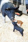 Black Pigs Stock Photo