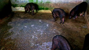 Black Pigs in Cage Walk Eat on Special Farm for Tourists stock video footage