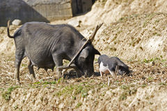 Black pigs eating. In a garden, north west of Vietnam Royalty Free Stock Images
