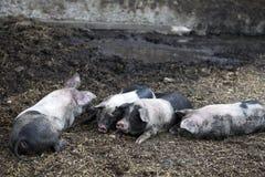 Black pigs at farm Stock Image