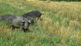 Black pigs grazing in the field mangulica passing through shot 01. Sunny day on a farm stock footage