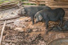 Black pigs stock photos