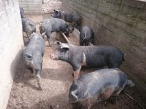 Pigsty Royalty Free Stock Image