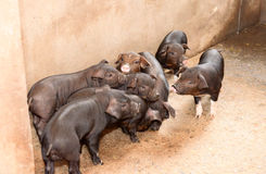 Black pigs in pigsty Royalty Free Stock Photo