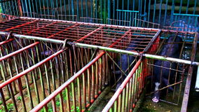 Black Pigs in Special Cages Ready to Race for Tourists stock video