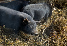 Black pigs in the straw Royalty Free Stock Photography